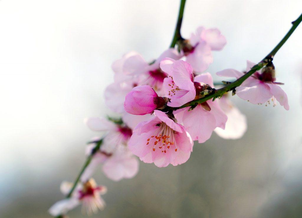Amande fleurs