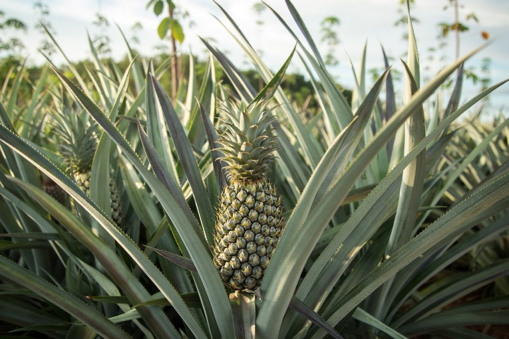 Champs d'ananas