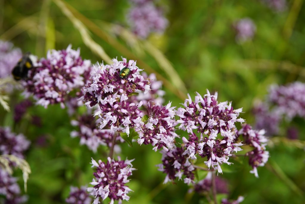 Origan fleurs